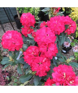 Rhododendron Markeeta's Prize (10lt)