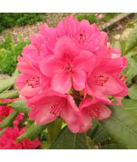 Rhododendron Nova Zembla (4.5lt)