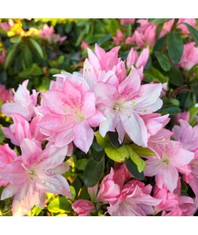 Rhododendron (Azalea) Peach Blossom (3lt)