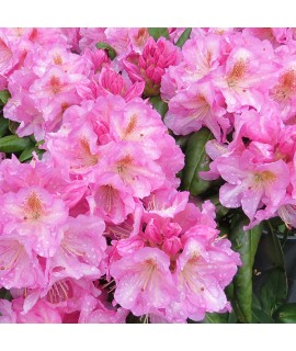 Rhododendron Scintillation (10lt)
