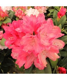 Rhododendron Sneezy (5lt)