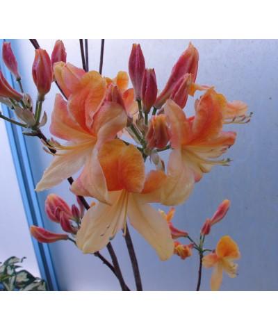 Rhododendron (Azalea) Strawberry Ice (7.5lt)