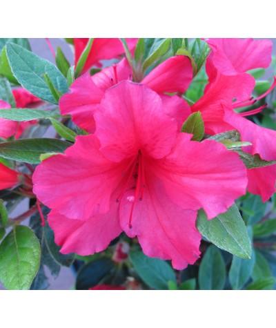Rhododendron (Azalea) Vuyk's Rosyred (3lt)
