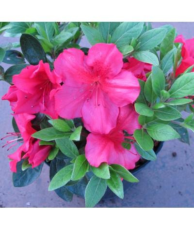 Rhododendron (Azalea) Vuyk's Scarlet (3lt)