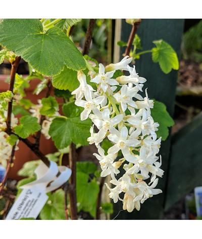 Ribes sanguineum White Icicle (Ubric) (3lt)