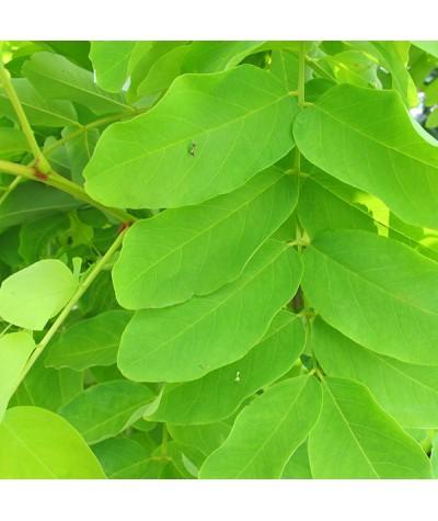 Robinia pseudoacacia Frisia (10lt)
