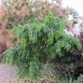 Robinia pseudoacacia Lace Lady Standard (10lt)