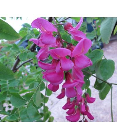 Robinia x margaretta Pink Cascade (10lt)