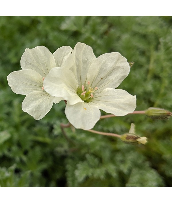 Erodium chrysanthum (1.5lt)