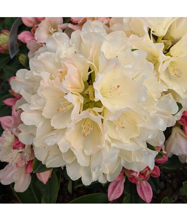 Rhododendron Golden Torch (2lt)