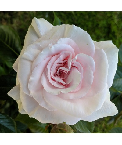 Rosa A Whiter Shade Of Pale (6lt)