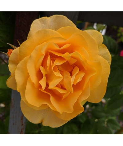 Rosa Absolutely Fabulous (6lt)