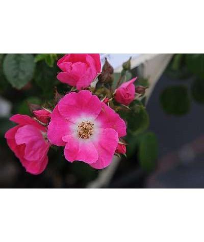 Rosa American Pillar (6lt)