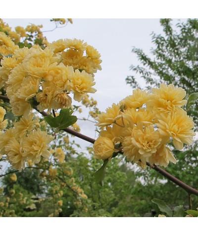 Rosa banksiae lutea (5lt)