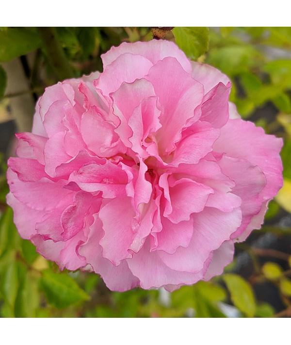 Rosa banksiae Rosea (5lt)