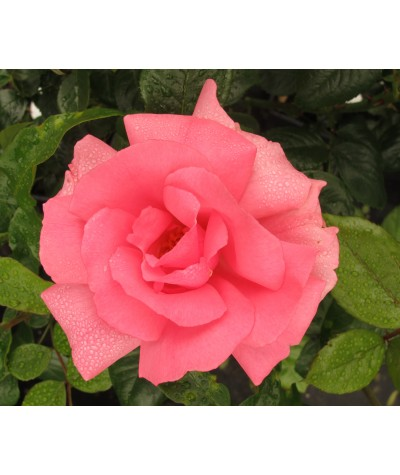 Rosa Bantry Bay (6lt)