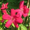Rosa x odorata Mutabilis Bengal Crimson (3lt)