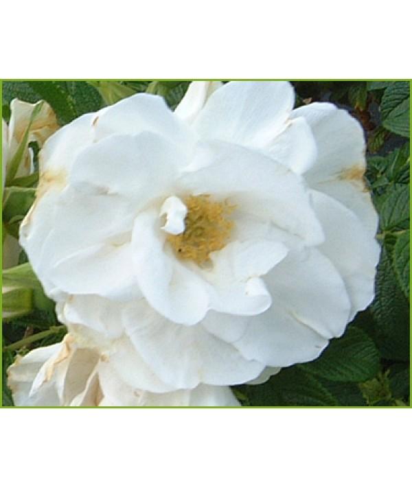 Rosa Blanche Double de Coubert (rugosa) (6lt)