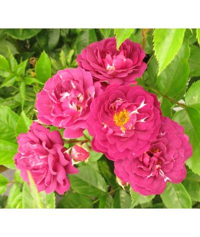 Rosa Bleu Magenta (6lt)