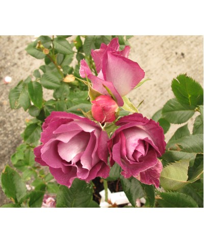 Rosa Blue For You (6lt)