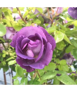 Rosa Blue for You (Standard) (10lt)