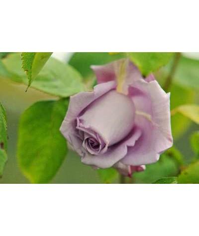 Rosa Blue Moon (6lt)
