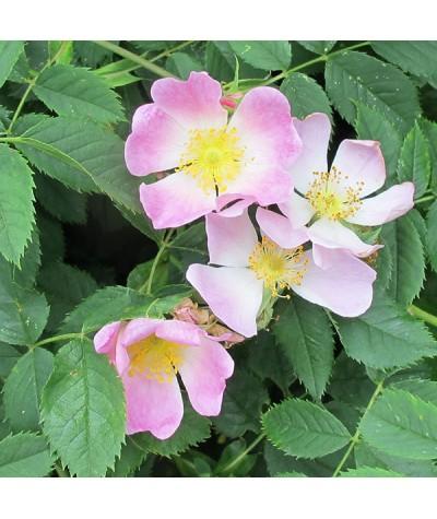 Rosa canina (bare root)