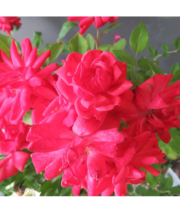 Rosa Carolin (1lt)