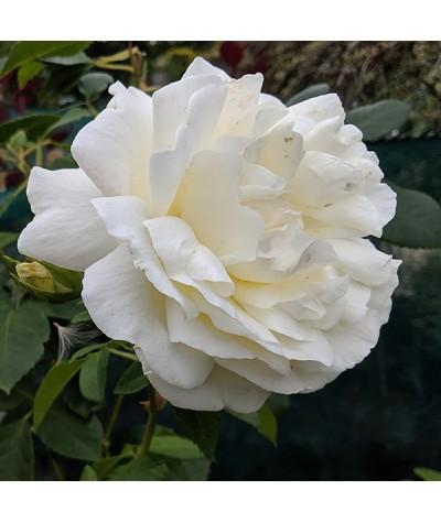 Rosa Creme de la Creme (6lt)