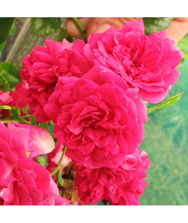 Rosa Crimson Showers (6lt)