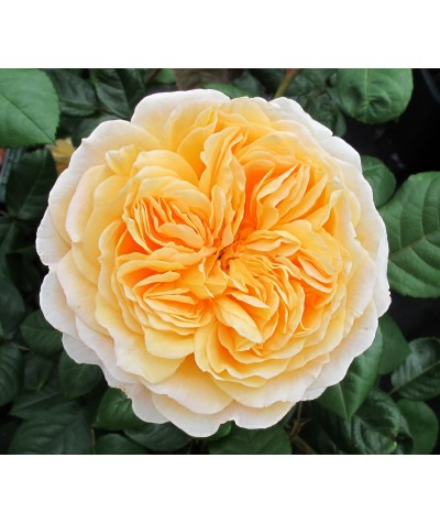 Rosa Crown Princess Margareta (6lt)