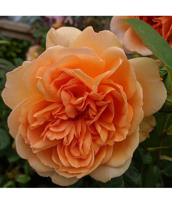 Rosa Dame Judi Dench (6lt)