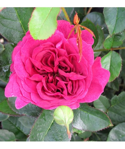 Rosa Darcey Bussell (6lt)