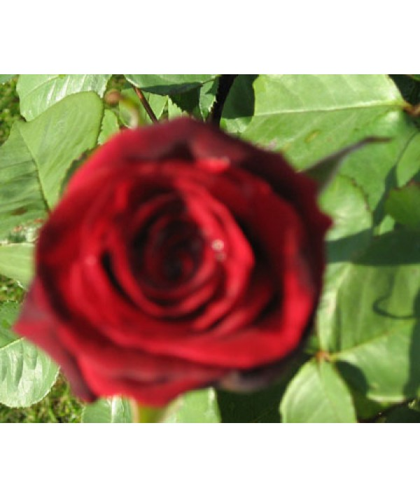 Rosa Deep Secret (6lt)