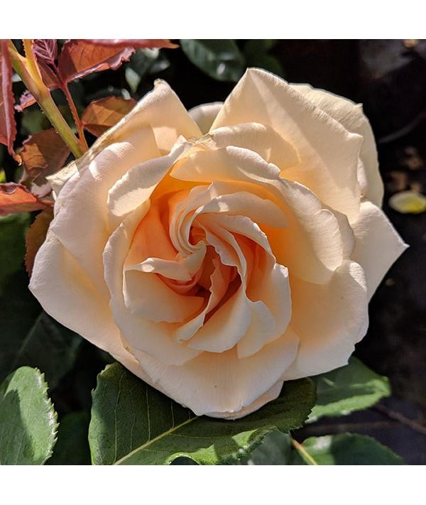 Rosa Diamond Jubilee (6lt)