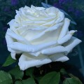 Rosa The Diamond Wedding Rose (6lt)