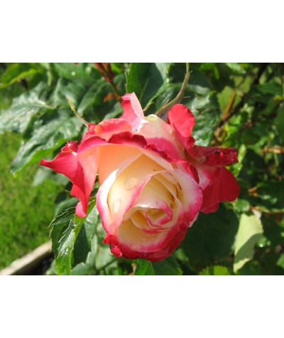 Rosa Double Delight (6lt)