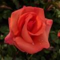 Rosa Edward's Rose (6lt)