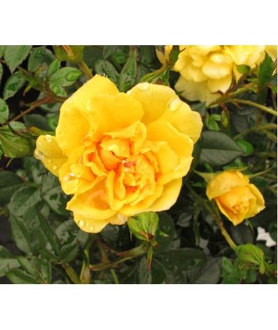 Rosa Excellent Cover (6lt)