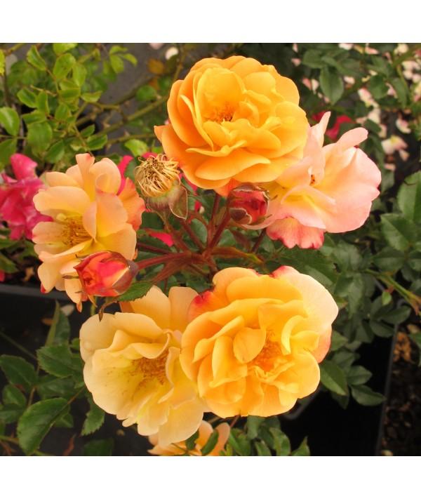 Rosa Flower Carpet Sunshine (6lt)