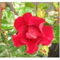 Rosa Flower Carpet Red Velvet (6lt)