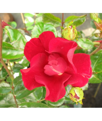 Rosa Flower Carpet Red Velvet (6lt)