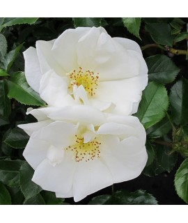 Rosa Flower Carpet White