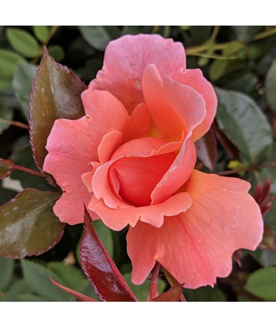 Rosa Fragrant Delight (6lt)