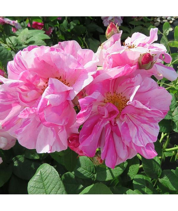Rosa gallica Versicolor (6lt)