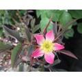 Rosa glauca (3lt)