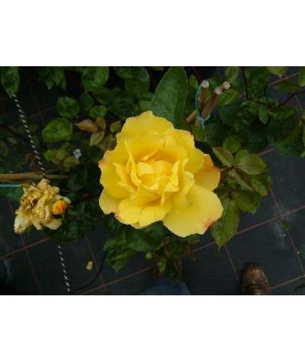 Rosa Golden Showers (6lt)