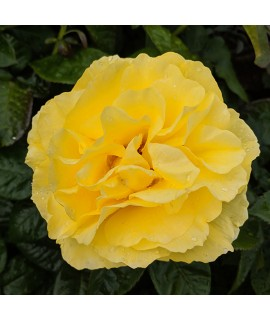 Rosa Golden Smiles (6lt)