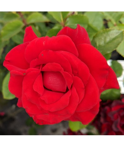 Rosa Happy Ruby Wedding (6lt)