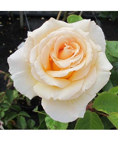 Rosa Isn't She Lovely (Standard) (10lt)